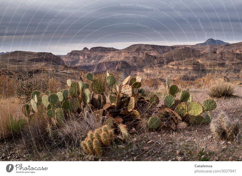 Opuntia Berge u. Gebirge wandern Umwelt Landschaft Pflanze Sand Himmel Gewitterwolken Horizont Klima schlechtes Wetter Dürre Sträucher Kaktus