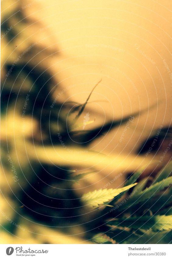 gunjah Natur Cannabis grass hemp chill