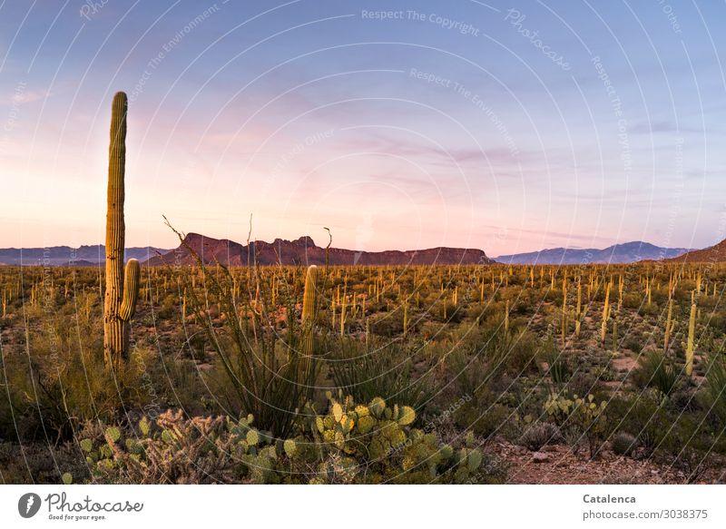 Abenddämmerung mit Kaktus Berge u. Gebirge wandern Umwelt Natur Landschaft Pflanze Sand Wolkenloser Himmel Sommer Klima Dürre Sträucher Wildpflanze Opuntia