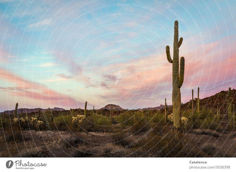 Im Abendlicht Ausflug Ferne Freiheit wandern Natur Landschaft Sand Himmel Wolken Horizont Schönes Wetter Pflanze Sträucher Kaktus Saguaro Kaktus Ocotillo Wüste