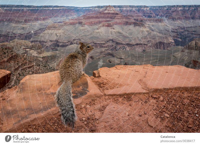 Aussicht geniessen wandern Landschaft Tier Urelemente Himmel Horizont Schlucht Grand Canyon Eichhörnchen 1 beobachten hocken frech schön Neugier braun grau