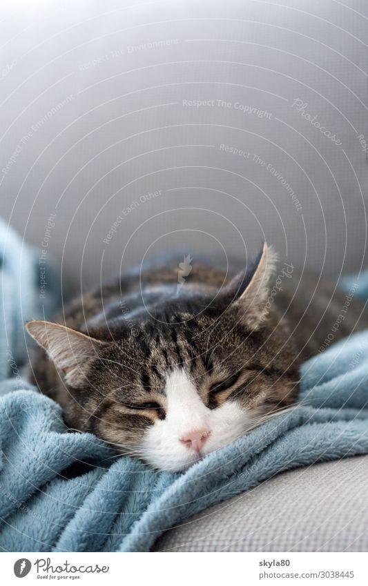 Anschmiegsam Hauskatze Katze Haustier Tiergesicht Wolldecke liegen schlafen Freundlichkeit niedlich weich Zufriedenheit Vertrauen Tierliebe ruhig Erschöpfung