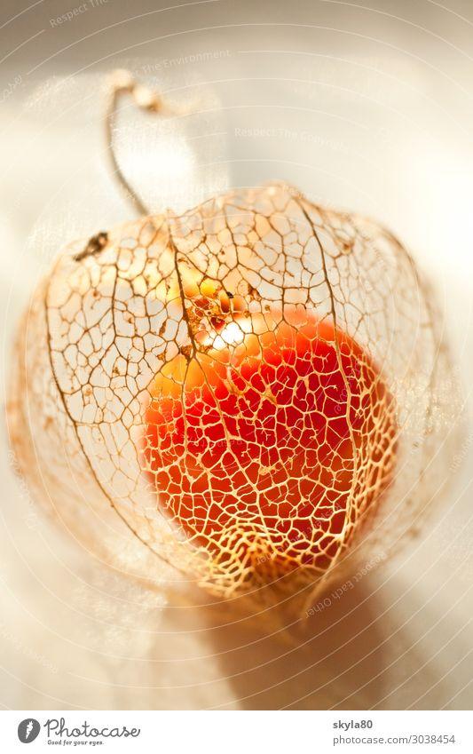 Lichtdurchflutet Physalis Lampionblume Natur Pflanze Zierpflanze trocken Nachtschattengewächse Blüte Blume Garten Herbst exotisch Frucht orange