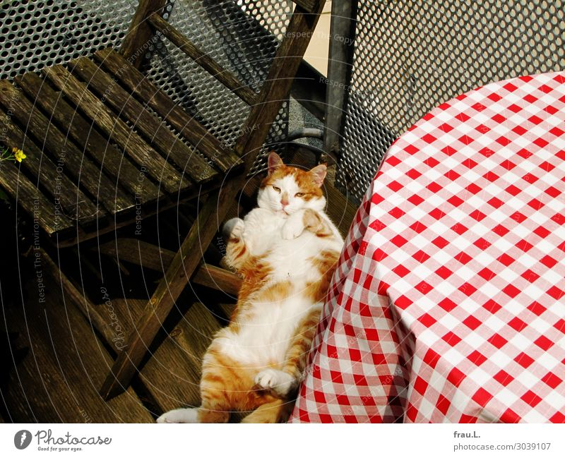 Sonnen Katze schön weiß rot Erholung Tier ruhig Freude natürlich Glück braun Häusliches Leben Zufriedenheit träumen liegen Tisch