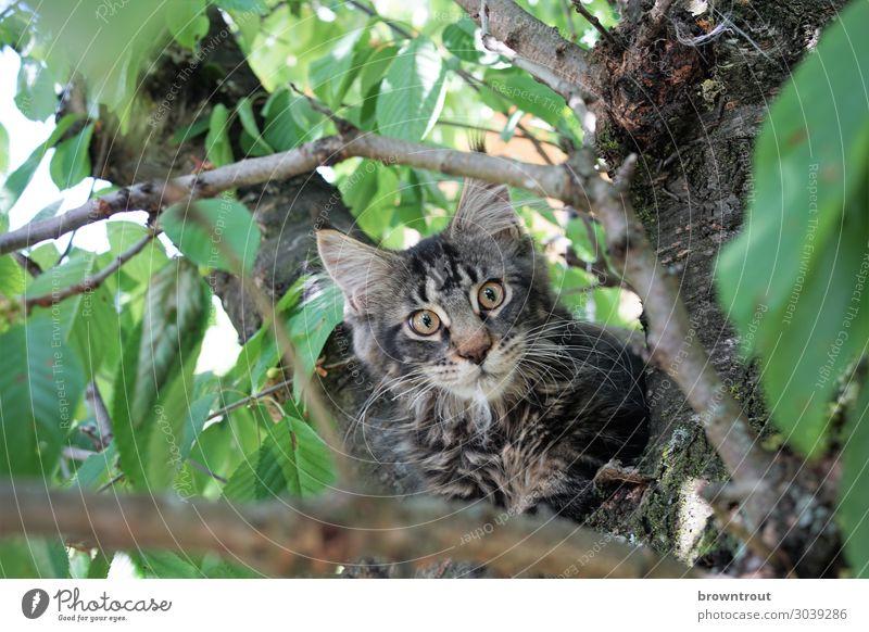 Kitten in a cherry tree Haustier Katze Tiergesicht 1 beobachten liegen Blick warten frech frei kuschlig Neugier niedlich oben braun grau grün Tapferkeit