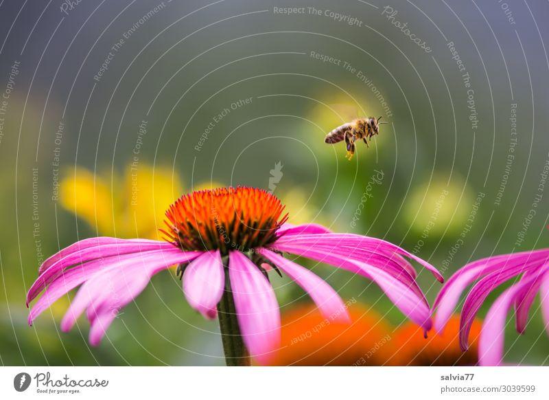 Bienenflug Umwelt Natur Sommer Pflanze Blüte Sonnenhut Roter Sonnenhut Garten Tier Haustier Honigbiene Bienenweide Insekt 1 Blühend Duft fliegen Bewegung Farbe