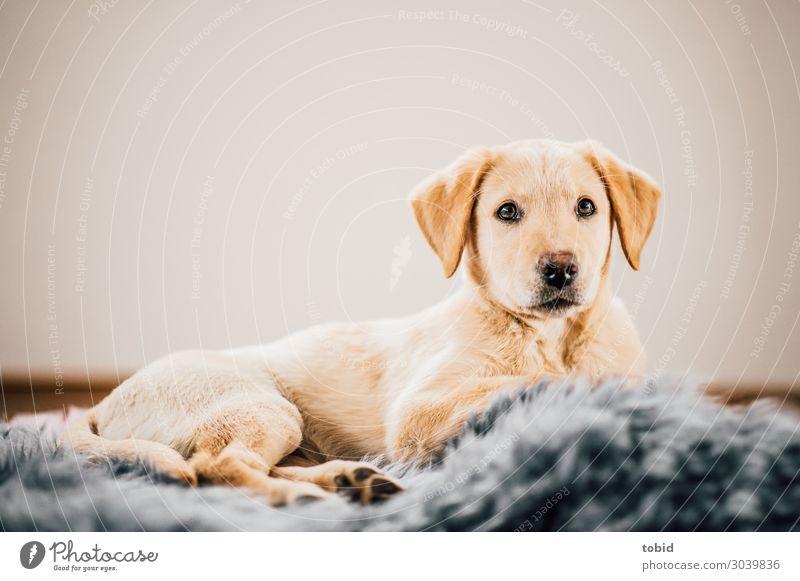 Hundewelpe / Labrador Retriever Pt.2 Tier liegen beobachten Fell Tiergesicht gemütlich Teppich