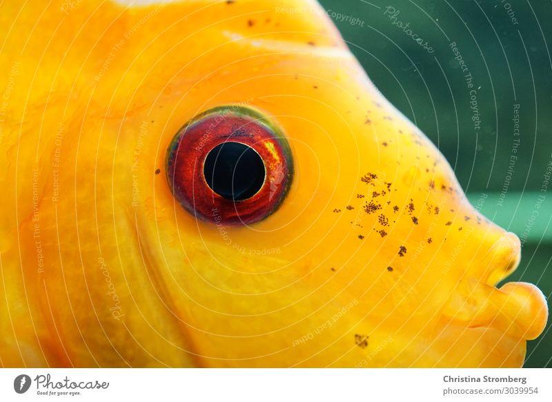 Schau mir in die Augen Schwimmen & Baden Tier Haustier Fisch Aquarium Diskusfisch Buntbarsch mehrfarbig Aquaristik tropisch Bewohner Blick Wasser Fluss Amazonas