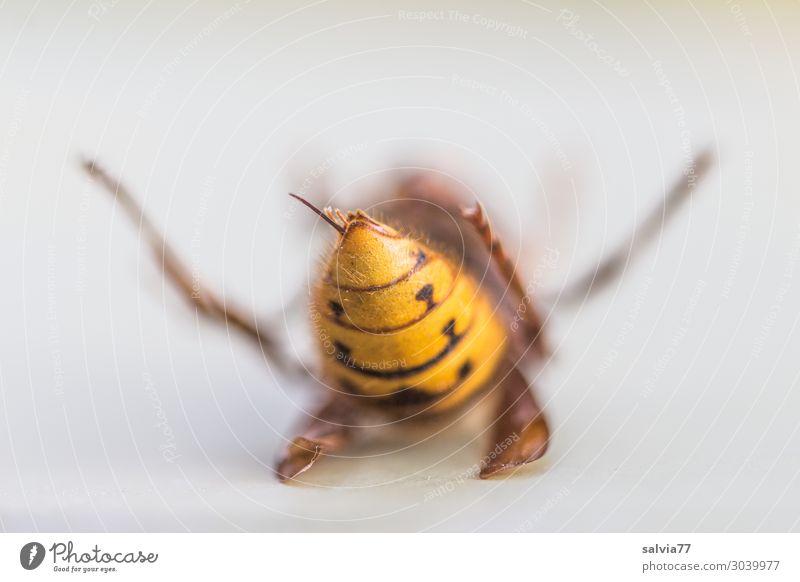 der letzte Stich Umwelt Natur Tier Wildtier Wespen Hornissen Insekt 1 außergewöhnlich stachelig Tod Vergänglichkeit Stachel Ende Insektensterben Farbfoto