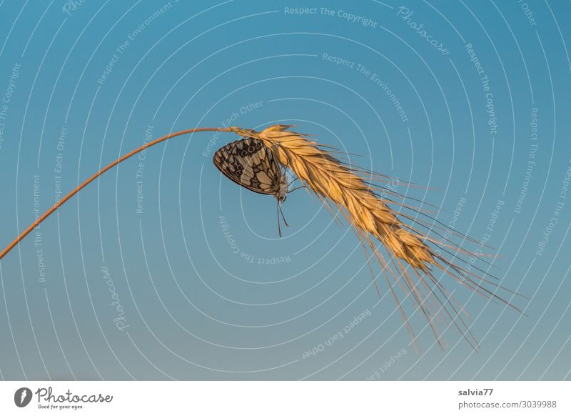 Roggenähre Umwelt Natur Himmel Sommer Schönes Wetter Pflanze Nutzpflanze Roggenähren Getreide Ähren Feld Tier Schmetterling Insekt 1 Wärme blau gold reif Korn