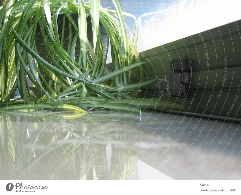 Gefangenes Grün Pflanze Fenster Fensterbrett Reflexion & Spiegelung grün Blatt Fensterrahmen gefangen geschlossen Sonnenstrahlen Burg oder Schloss