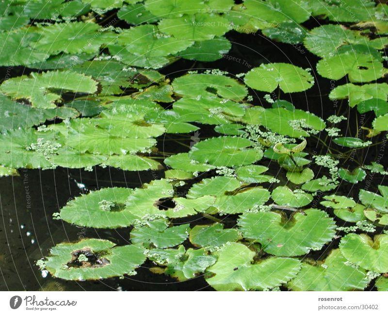 Seerosen Blatt grün Detailaufnahme