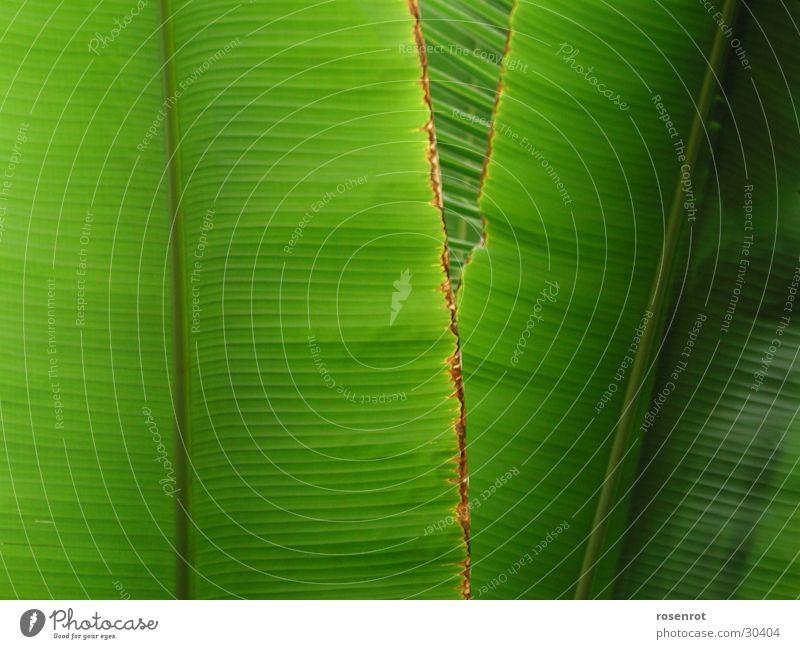Blätter Blatt Banane Bananenblatt grün Detailaufnahme