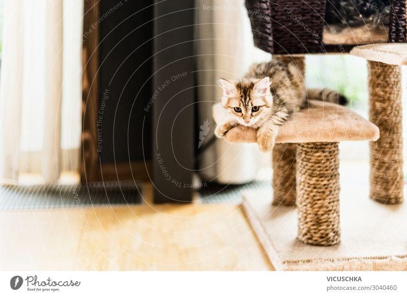 Lustiges Kätzchen spielt auf dem Kratzbaum im Wohnzimmer. Sibirische Rassekatze lustig Katzenbaby lebend Raum sibirisch spielerisch Stammbaum Fenster spielen