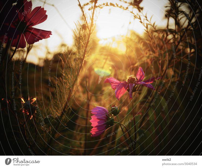 Schmuckkörbchen Umwelt Natur Landschaft Pflanze Sommer Schönes Wetter Blume Blatt Blüte Wildpflanze Garten Wiese Blühend glänzend leuchten violett orange ruhig