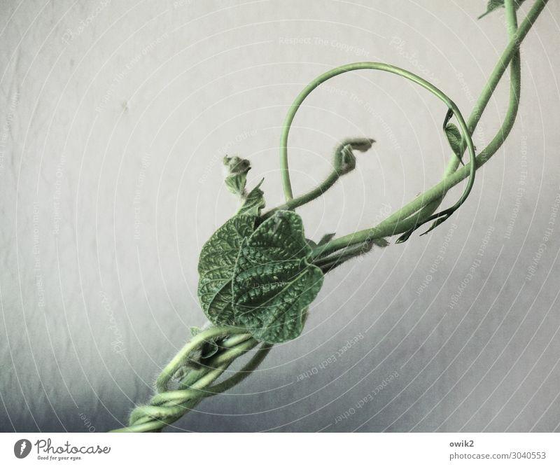 In sich verschlungen Pflanze grün authentisch dünn Kletterpflanzen