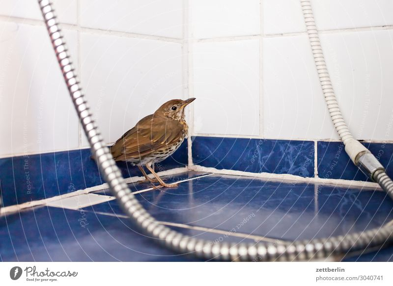 Singdrossel in der Dusche Amsel Lebewesen Drossel Menschenleer Seuche Vogel Singvögel Tod Textfreiraum usutu Virus vogelseuche Dusche (Installation)