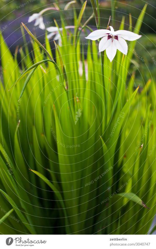 Gladiolus callianthus Pflanze grün Blume Blatt Blüte Garten Textfreiraum Blühend Schrebergarten Lilien Gladiolen