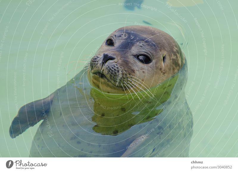 Schwebezustand Natur grün Wasser Meer Tier ruhig Wildtier Schwimmbad Gelassenheit Schweben Tiergesicht geduldig skeptisch Robben Robbenbaby