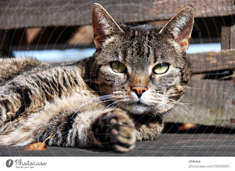 Katze liegt auf Holzboden aufmerksam liegen Terrasse Holzfußboden tatze entspannt grüne augen Interesse
