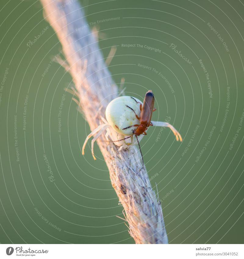verloren   oder veralbern Natur Tier Käfer Spinne 2 krabbeln außergewöhnlich bedrohlich skurril Jagd Beute Opfer gefährlich Farbfoto Außenaufnahme Makroaufnahme
