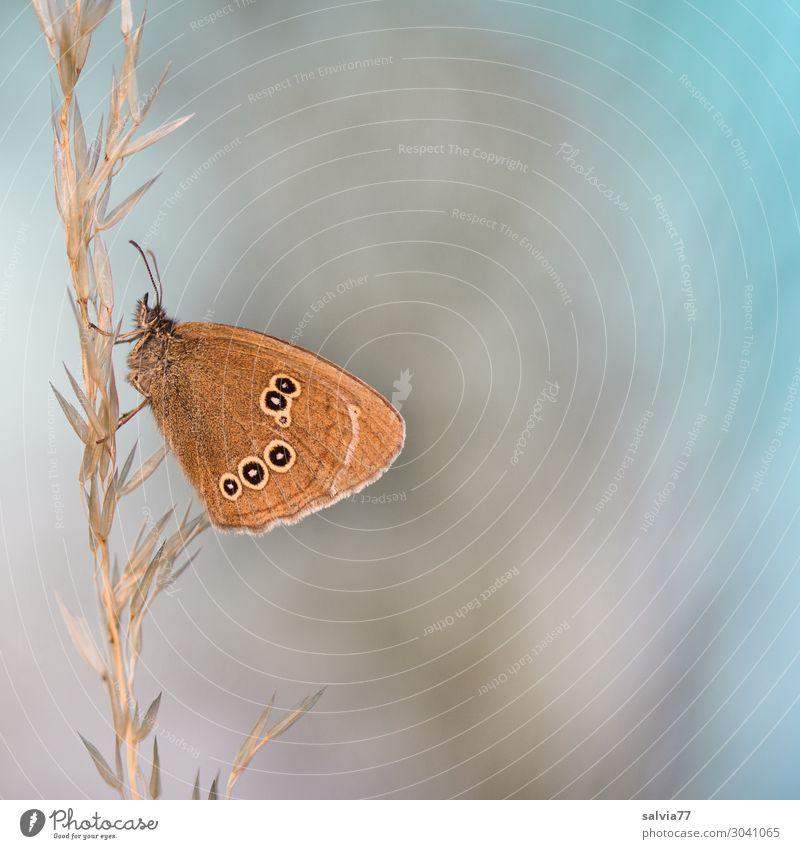 braune Augen Umwelt Natur Sommer Pflanze Gras Gräserblüte Tier Wildtier Schmetterling Insekt 1 blau Stimmung ruhig Design einzigartig Leichtigkeit Pause