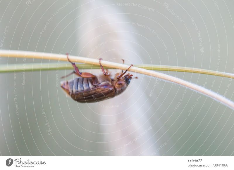 Junikäfer Sport Klettern Bergsteigen Umwelt Natur Sommer Pflanze Halm Ähren Stengel Feld Tier Käfer Insekt 1 krabbeln Wege & Pfade Ziel Farbfoto Gedeckte Farben