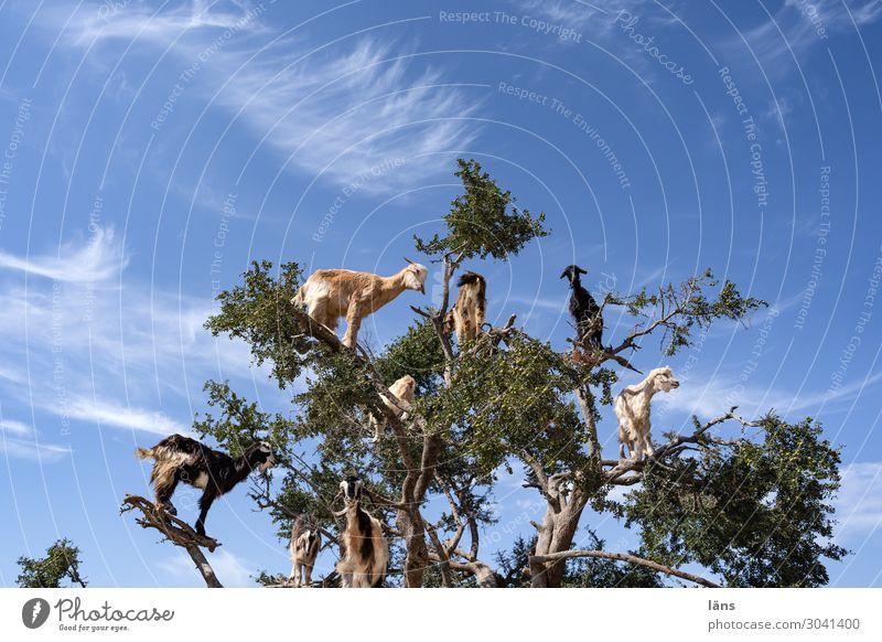 Ziegen auf Arganbaum Umwelt Natur Himmel Wolken Schönes Wetter Baum Nutzpflanze Bergziegen Tiergruppe beobachten stehen außergewöhnlich Neugier Interesse