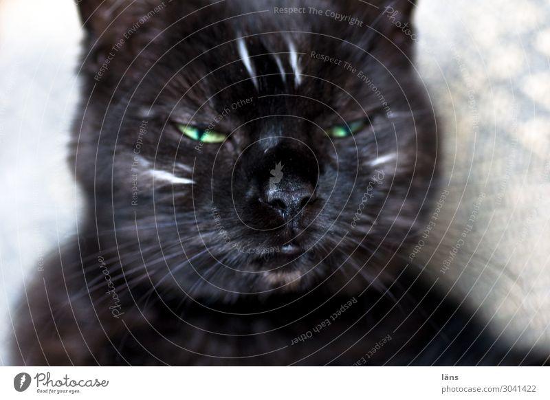 Halluzination Tier Katze 1 authentisch Gelassenheit zurückhalten Langeweile Müdigkeit Unlust Einsamkeit Erschöpfung Trägheit ignorant Genauigkeit Identität