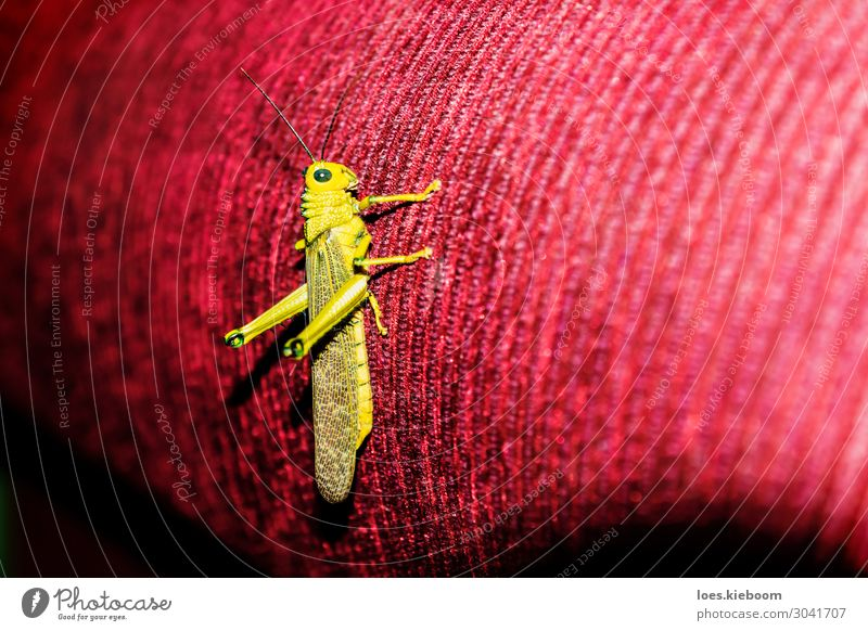 Green grasshopper on red couch, Guatemala Sofa Natur Tier 1 springen cricket insect green natural Hintergrundbild close wild wildlife antenna colorful beautiful