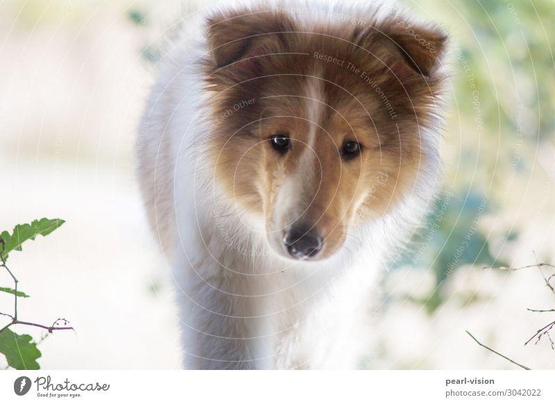 schau mal Haustier Hund 1 Tier Blick Neugier Interesse Collie Farbfoto Außenaufnahme Tag Porträt Blick in die Kamera
