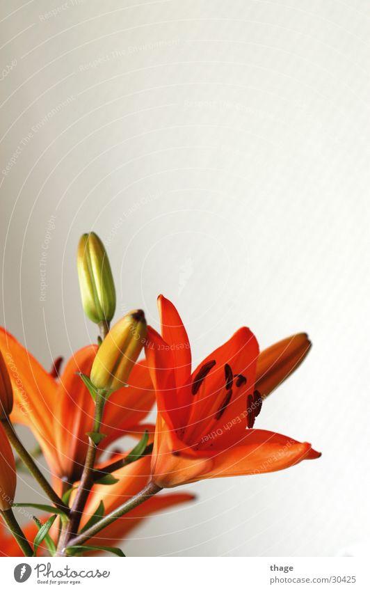 Orchidee Blume orange Blühend