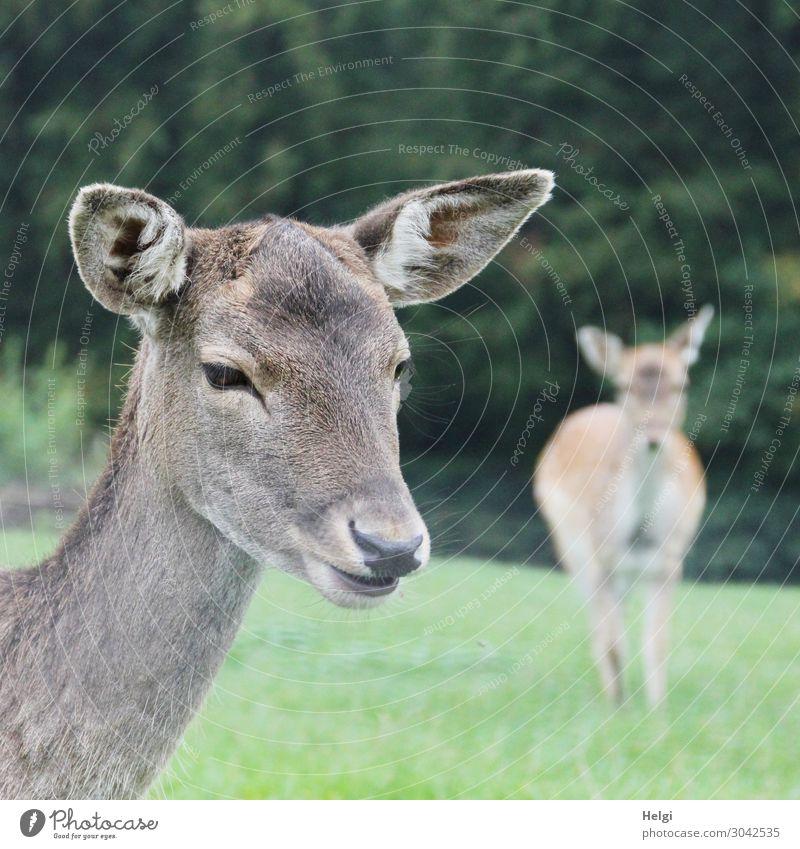 Nahaufnahme einer Damwild-Kuh auf einer Wiese, im Hintergrund ein zweites Tier Umwelt Natur Pflanze Herbst Baum Gras Park Wildtier 2 Blick stehen