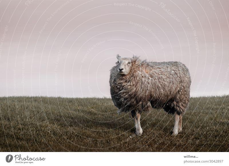 Das arrogante Deichschaf Schaf Tier Nutztier Fell zerzaust Wind Stolz Wiese ländlich Weide Viehzucht Ästhetik Tierporträt Arroganz allein