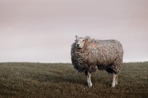 das deichschaf Tier Wiese Weide Fell Schaf ländlich Nutztier Viehzucht Deich zerzaust