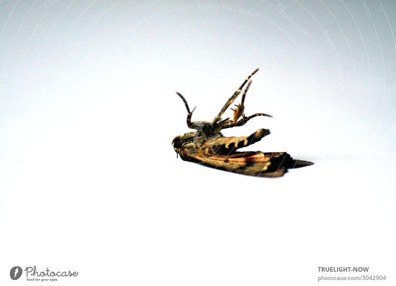 Nachtfalter auf weißem Tisch, gestorben Totes Tier Schmetterling natürlich braun schwarz Gefühle Trauer Tod Schmerz Angst Schüchternheit Einsamkeit Leben