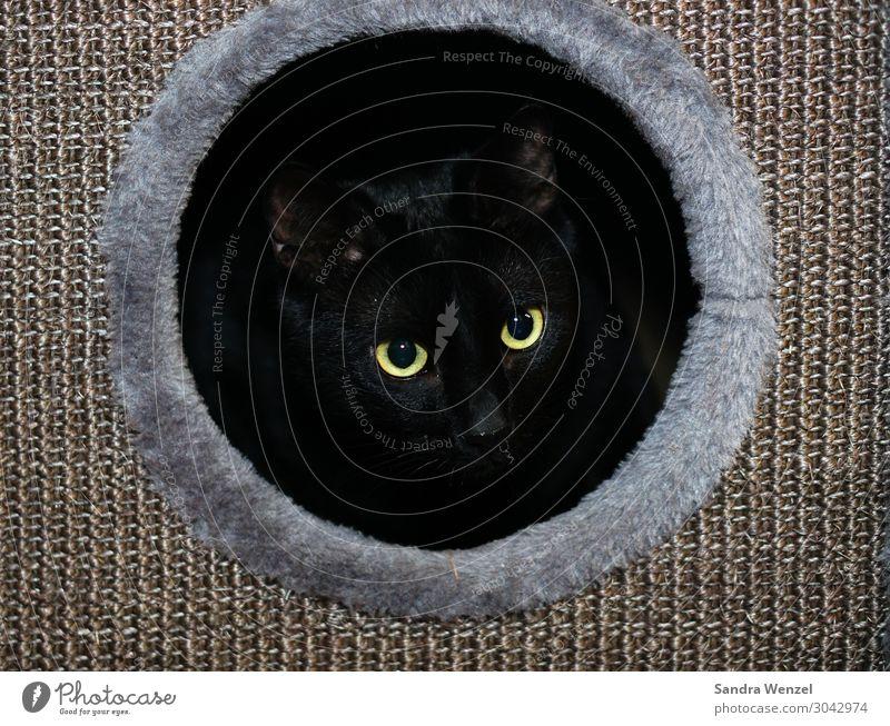 Sirius Tier Haustier Katze 1 beobachten Hauskatze Kratzbaum Farbfoto Menschenleer Zentralperspektive Blick nach vorn