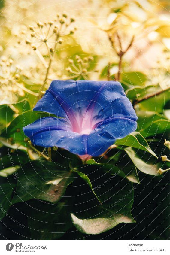 Blaue Blume violett blau Makroaufnahme