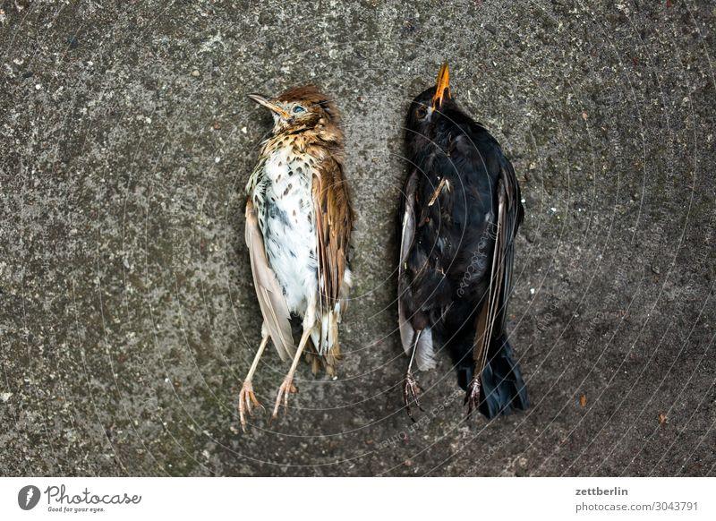 Zwei tote Vögel Amsel Lebewesen Drossel Menschenleer Seuche Vogel Singvögel Tod Textfreiraum usutu Virus vogelseuche liegen Leiche Feder