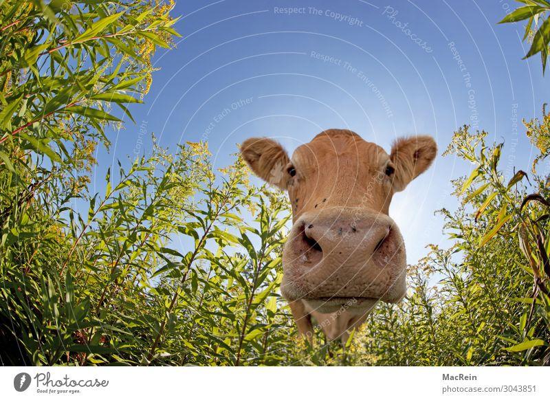 Kuh Landwirtschaft Forstwirtschaft Wiese Nutztier Neugier Ein Tier frontal Rind Maul Paarhufer Geruch Säugetier Vieh Wiederkäuer zutraulich Farbfoto