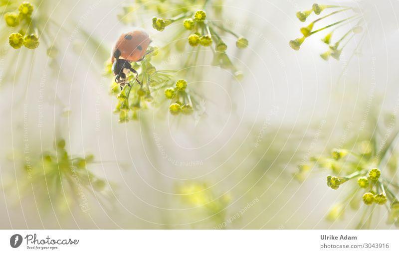 Marienkäfer in Dillblüten Design Wellness harmonisch Wohlgefühl Meditation Spa Feste & Feiern Geburtstag Umwelt Natur Pflanze Tier Sommer Blüte Nutzpflanze