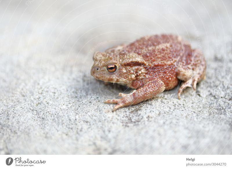 Nahaufnahme einer jungen Kröte, die auf einem Stein sitzt Natur Tier Wildtier 1 Blick sitzen warten einzigartig klein natürlich braun grau Leben Farbfoto