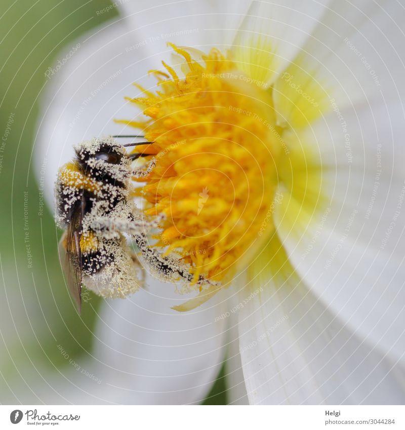 Nahaufnahme einer mit Pollen bedeckten Hummel auf einer weiß-gelben Dahlienblüte Umwelt Natur Pflanze Tier Sommer Schönes Wetter Blume Blüte Blütenblatt Garten