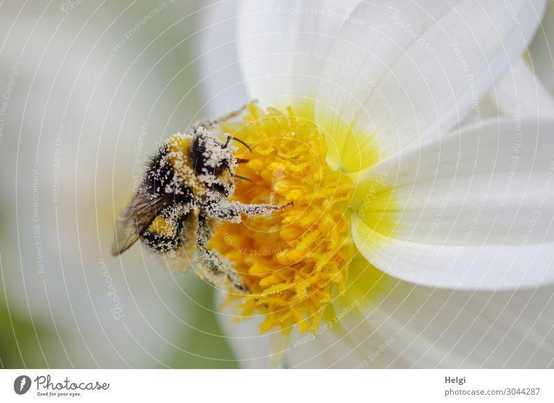 mit Pollen bedeckte Hummel sitzt auf einer weiß-gelben Dahlienblüte Umwelt Natur Pflanze Tier Sommer Schönes Wetter Blume Blüte Garten Wildtier 1 festhalten