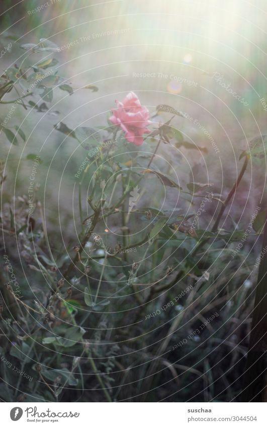 alone Blume Blüte Pflanze Natur schön Wellness Gesundheit hell dunkel Kontrast Seele Meditation Romantik exotisch Außenaufnahme Garten Blatt Sonnenstrahlen Rose
