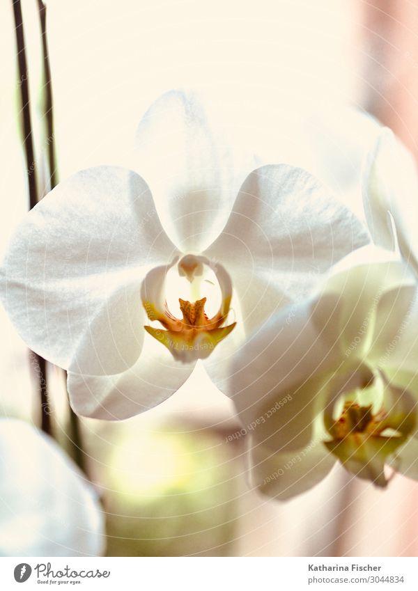 Orchidee weiß Natur Pflanze Frühling Sommer Herbst Winter Blume Dekoration & Verzierung Blühend schön gelb orange Orchideenblüte Farbfoto Innenaufnahme