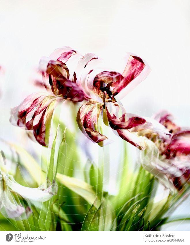 Tulpen Doppelbelichtung rot gelb Natur Pflanze Frühling Sommer Herbst Winter Blume Blatt Blüte Blumenstrauß Blühend grün violett orange rosa türkis weiß bizarr