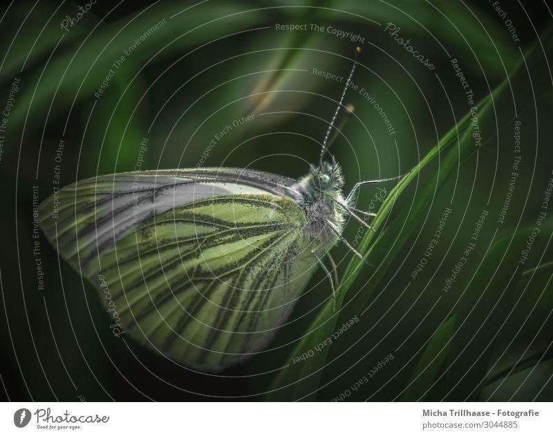 Schmetterling in der Dämmerung Natur Tier Sonnenlicht Schönes Wetter Pflanze Gras Blatt Wiese Wildtier Tiergesicht Flügel Baumweißling Kopf Auge Fühler Beine