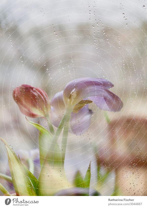 Raindrops falling Pflanze Frühling Sommer Herbst Winter Blume Tulpe Blumenstrauß Blühend leuchten gelb grün violett orange rosa rot türkis weiß Tulpenblüte