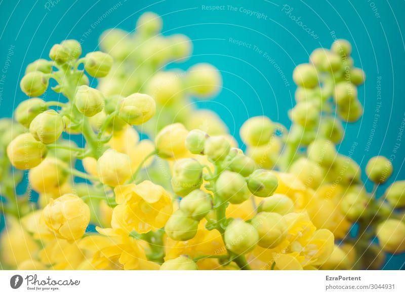 Blüten klein gelb Blütenknospen blau Blume Pflanze Frühling Blühend Natur Nahaufnahme